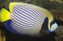Imperador Angelfish