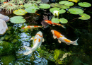 Decorative Fish in the Pond