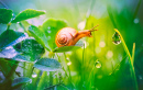 Snail with Morning Dew