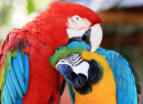 Two Colorful Macaws in Sarasota