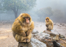 Barbary Macaque Monkeys in Morocco